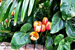 Tulips under leaves