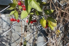 Berries Chain Link Fence